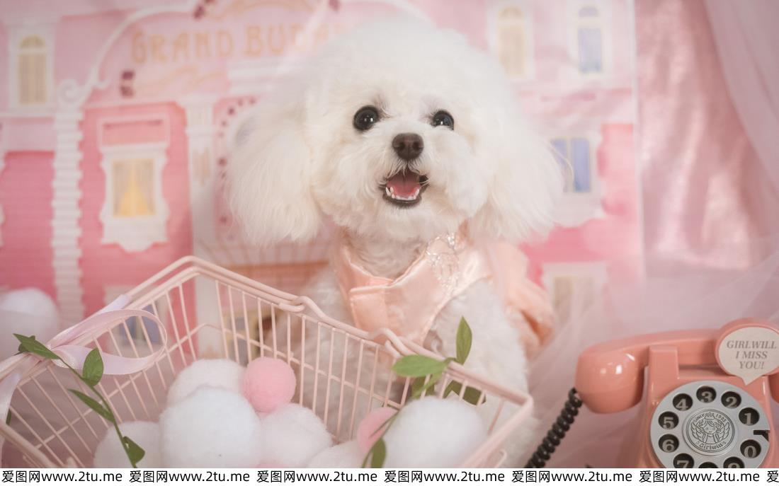 超级可爱的萌宠泰迪犬图片
