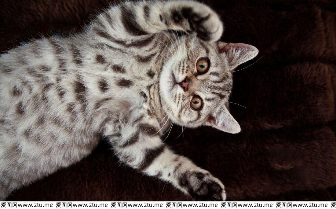 可爱的美国短毛猫英短蓝猫萌宠高清图片大全