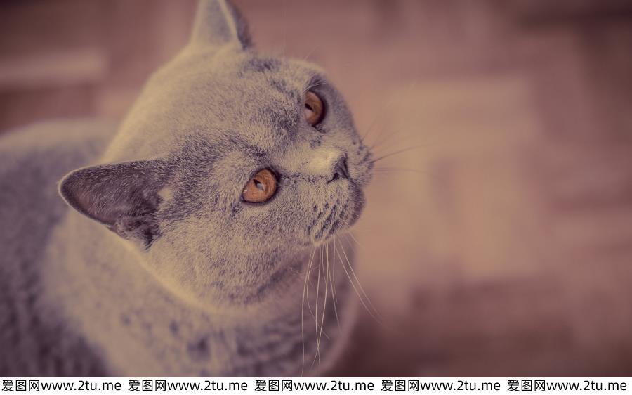 可爱美国短毛猫高清萌宠图片